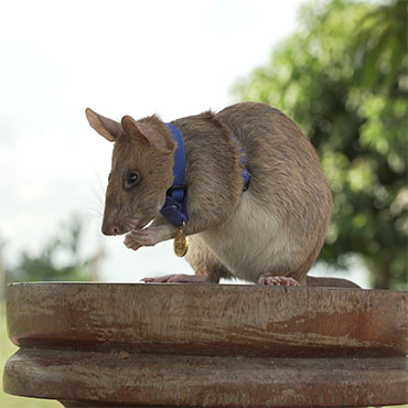 Rat Magawa Received The PDSA Gold Medal For His Life-Saving Work In Cambodia, Making Him The First Rat To Receive A PDSA Award.